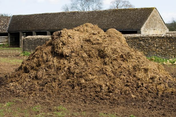 Manure is not a part of Ronaldo's diet just yet