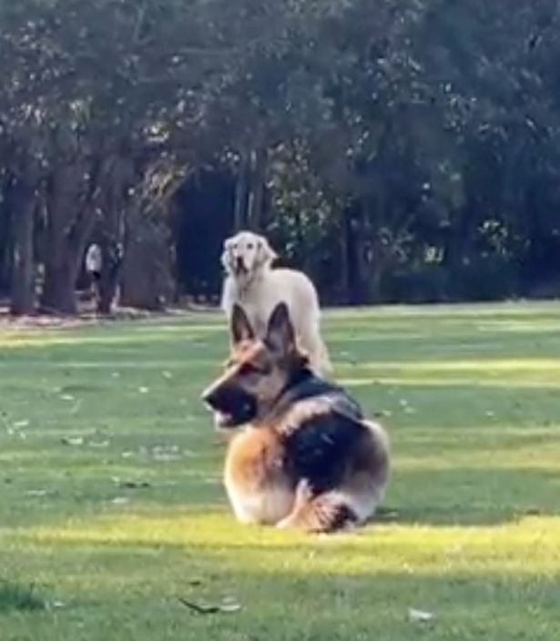 German shepherd greets golden retriever best friend just like a cat –and it's adorable