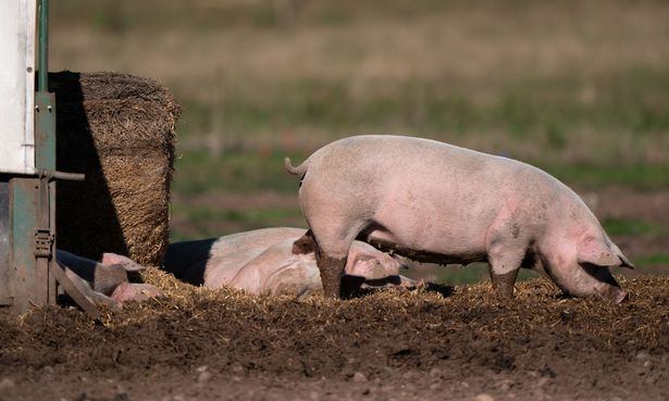 Pigs on a farm in Staffordshire