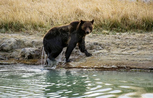 Grizzly bears pose a constant threat to potential prey like mountain goats