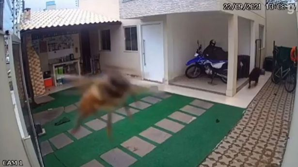 One of the killer bees flying close to the camera
