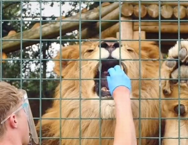 The lion gently takes a treat