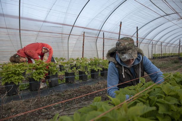 There is a crisis in recruiting staff for fruit and veg picking industry