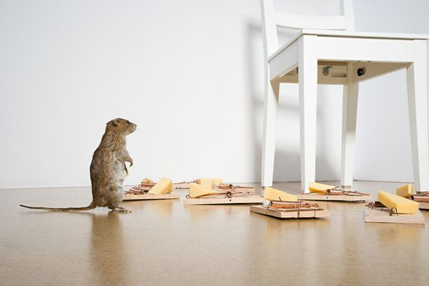 Rats are said to be more responsible for more deaths than all the wars of the past 1,000 years. (Pictured: a rat looking at loads of rat traps)