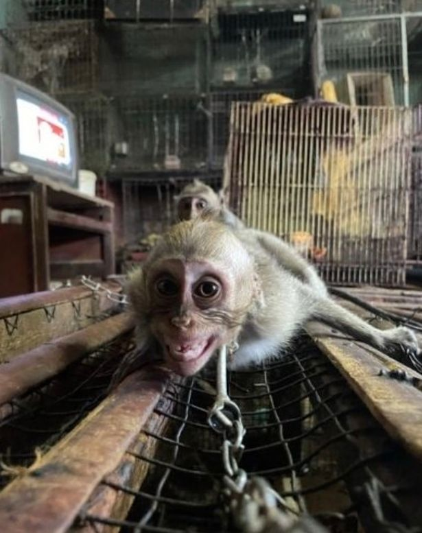 Baby monkeys chained by the neck