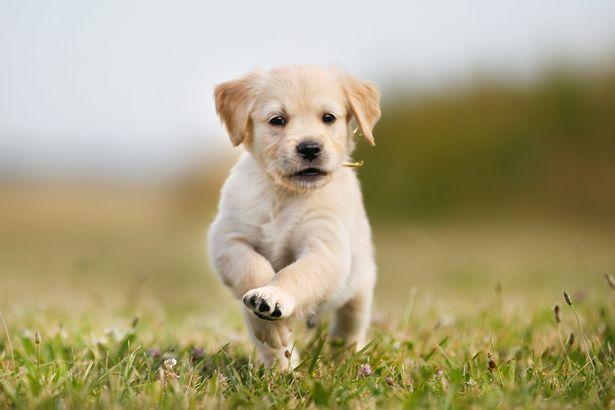A golden retriever puppy