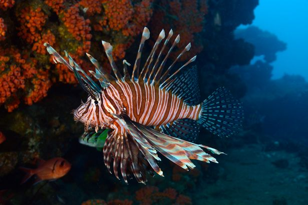 A lethal lionfish has been caught off the coast of Dorset