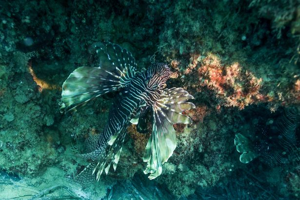 Lionfish are usually found in warmer waters