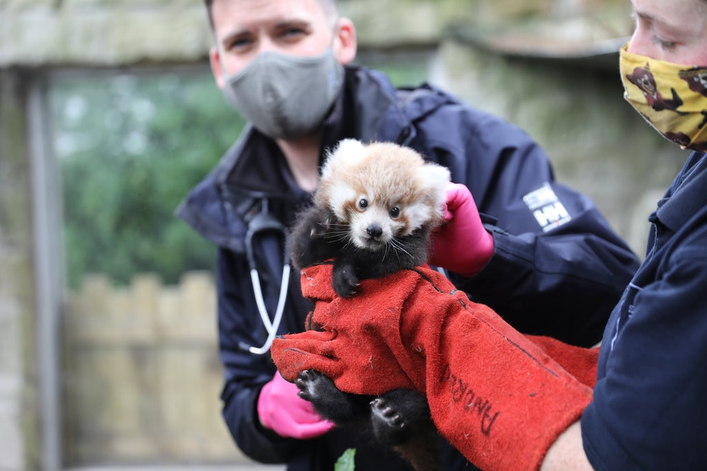 Baby red panda named by zookeepers