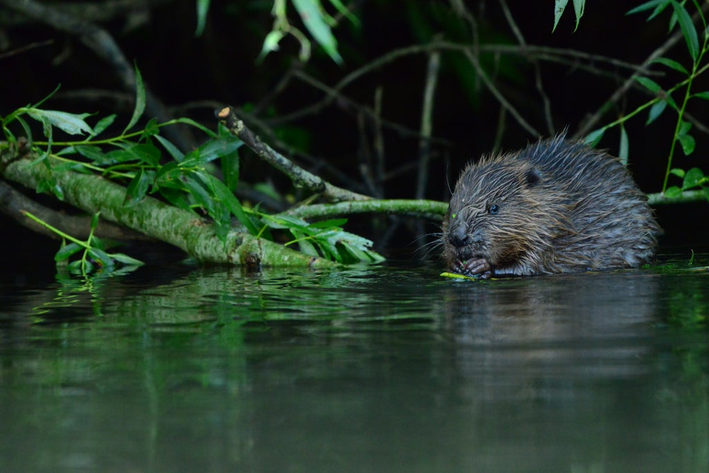 Beavers living wild in Avon catchment for first time in 400 years