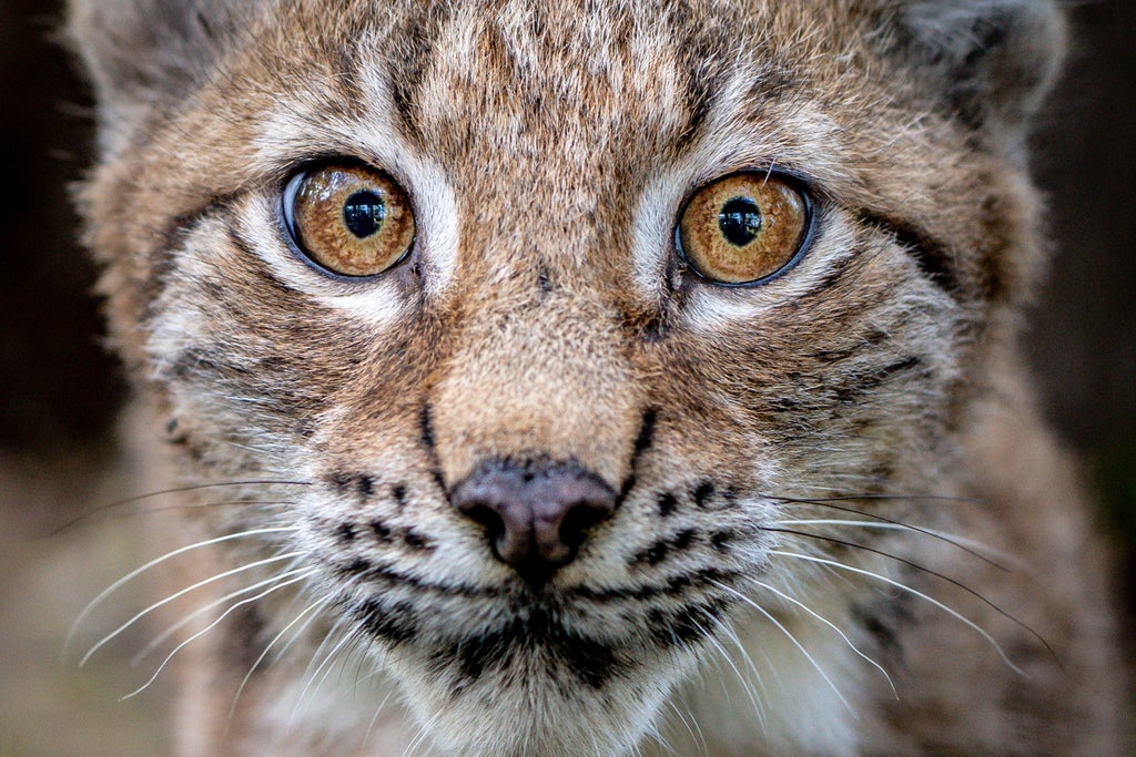 Hungry lynx kittens growing up