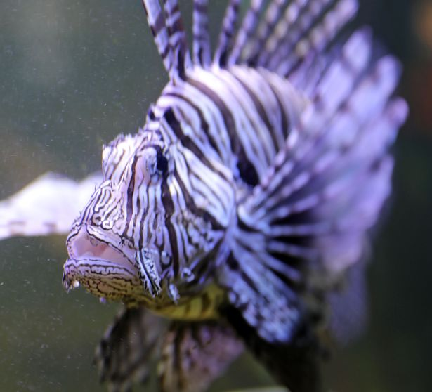 Lionfish can kill and paralyse humans with their sting