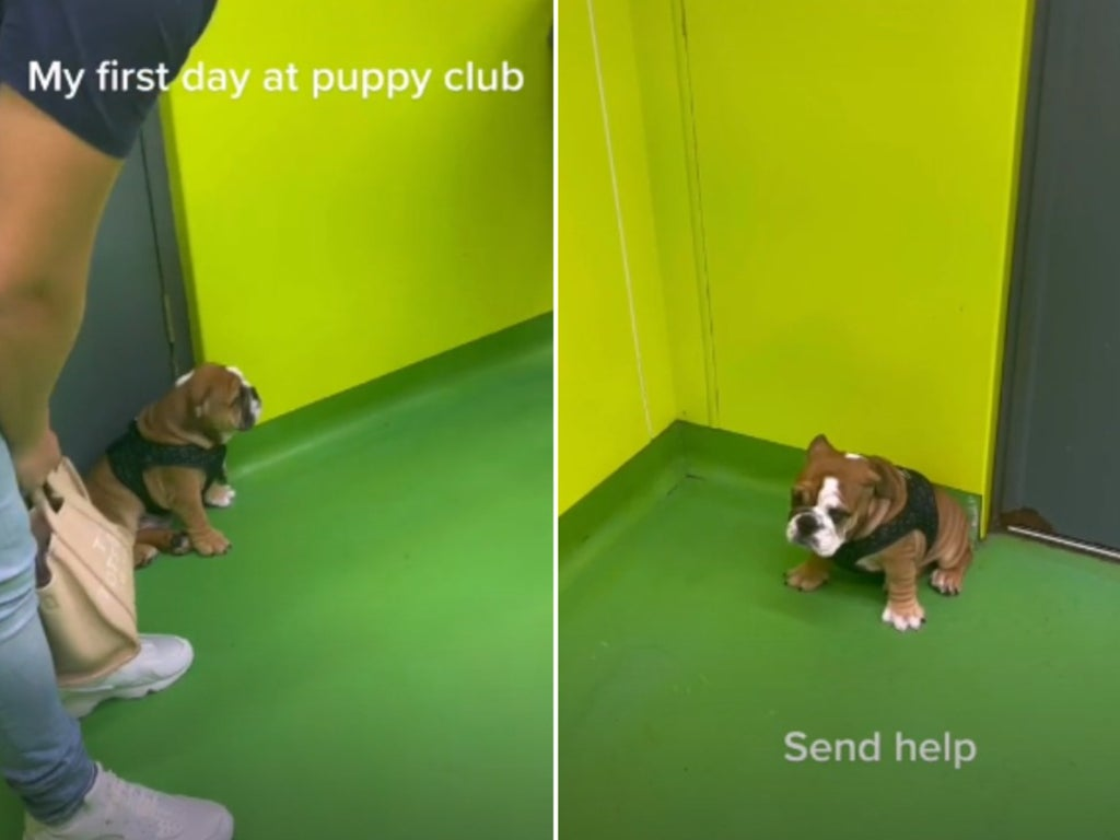 Timid bulldog finds it hard to make new friends on first day at puppy club
