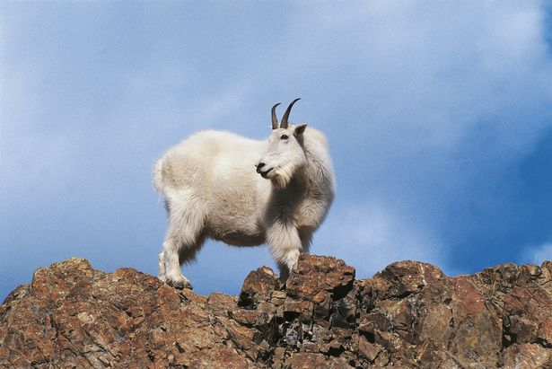 Mountain goats are small but stocky creatures with huge, razor-sharp horns