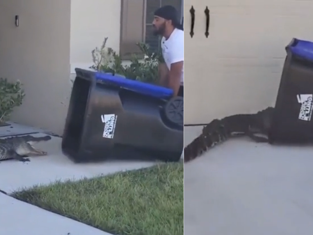 Watch the heart-in-mouth moment that man uses wheelie bin to capture alligator