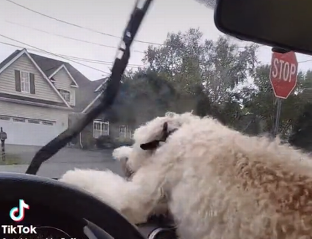The Labradoodle has racked up over 243,000 videos on TikTok