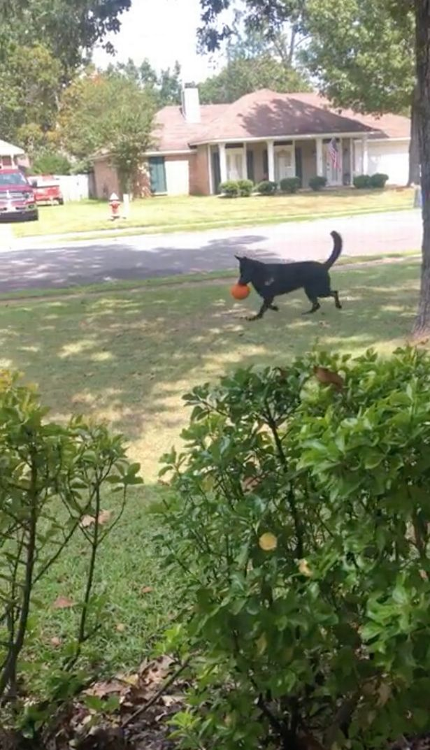 The dog's trained to know his boundaries so he won't go anywhere further than the front yard