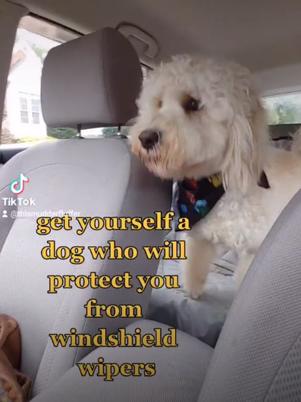 Jude the Labradoodle, from North Carolina, knew he needed to protect his owner from the car wipers