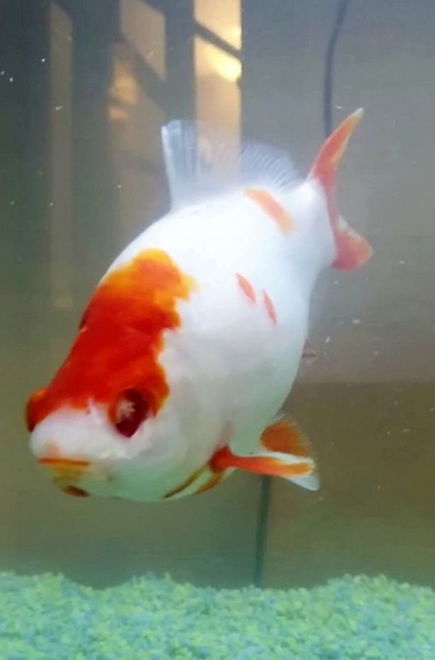 Goldfish 'kept alive by syringe' during miracle eye surgery to stop it going blind